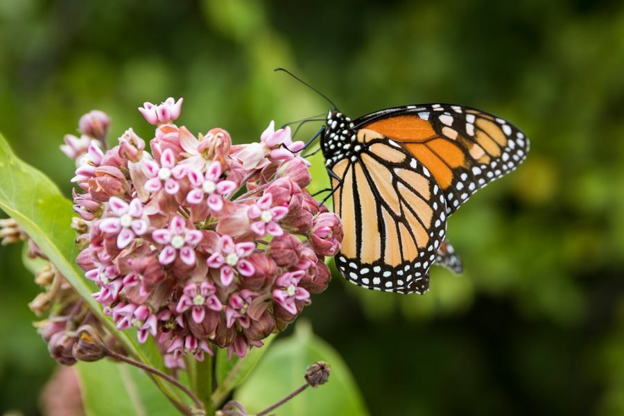 Milkweed for the Monarch Butterflies