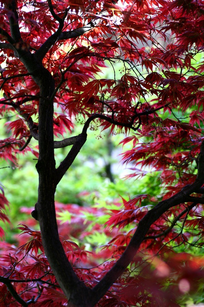 Flaming Reds of the Japanese Maple